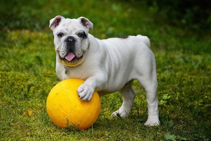 Legjobb ajándék a kis kedvencünknek, avagy a Kong kutyajáték!